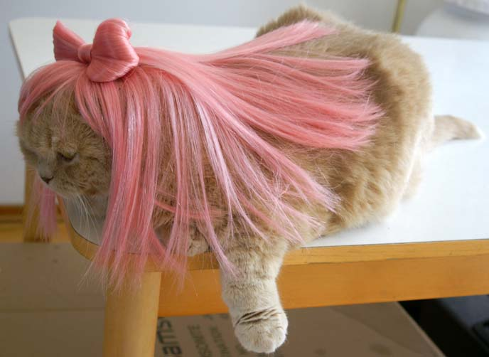Cats Got a Really Funny Wig