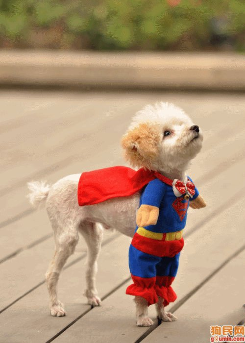 Dog in Superman Costume - Happy Halloween!!