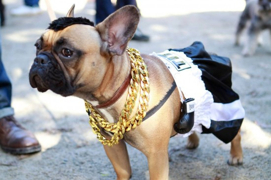 Dog All Dressed Up as A Boxer