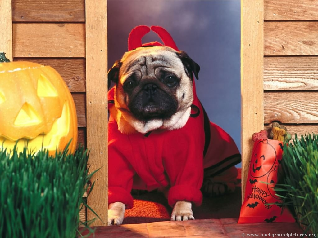 Funny Dog Welcomes Halloween in A Devil Costume Funny Dog Welcomes ...