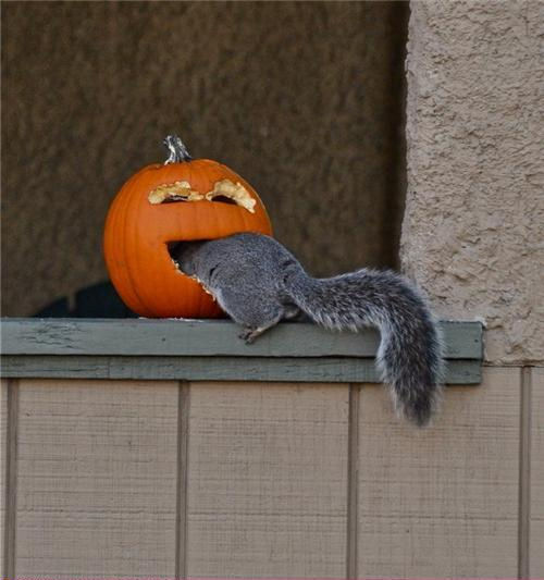 Halloween Pumpkin Got a Squirrel